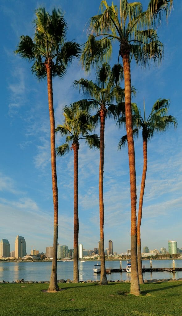 Palm trees standing tall against the water and them skyline in the background