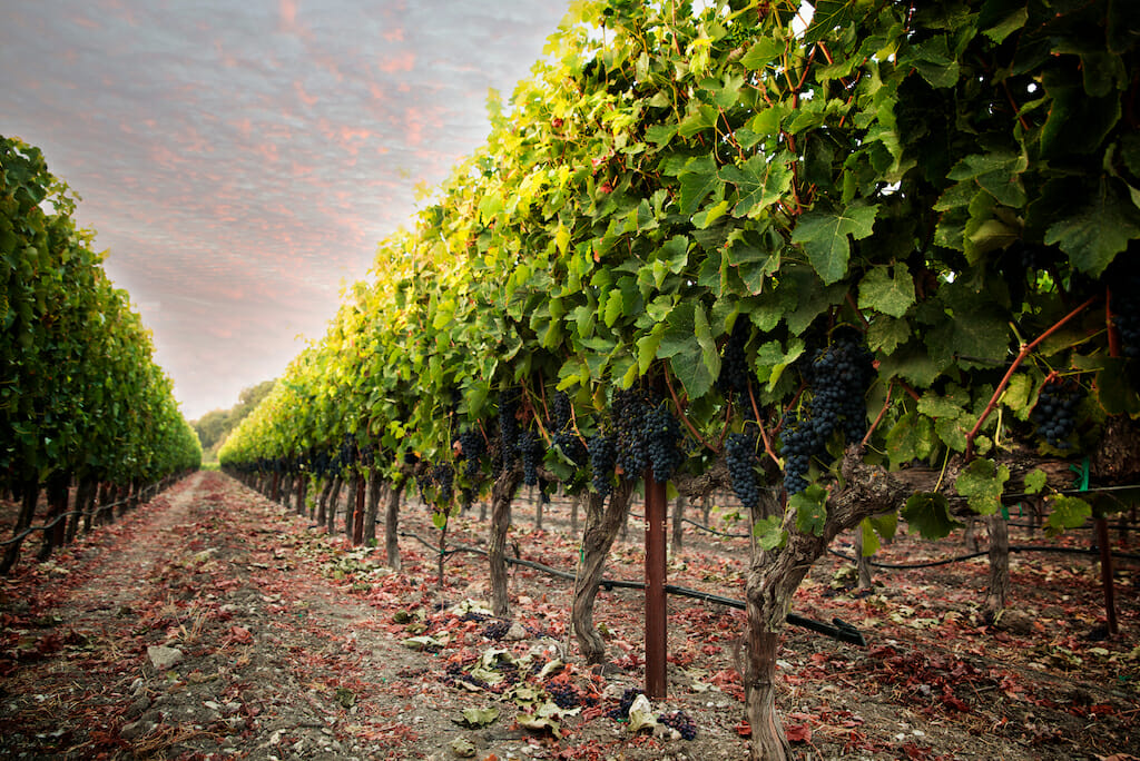 Grapes hang on the vine just before harvest. Paso Robles, California.