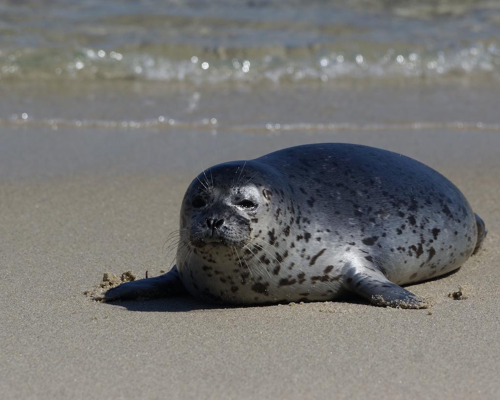 Harbor Seal at La Jolla Cove, San Diego, California
