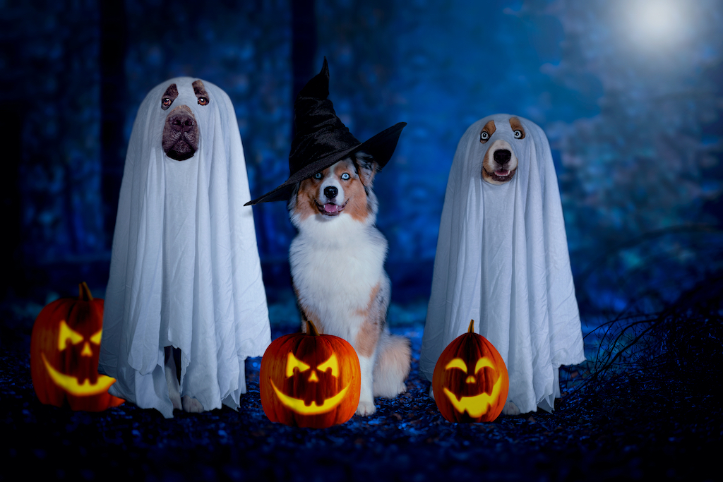 Halloween, three dogs sit disguised as ghost and witch in front of pumpkins in a dark forest at full moon