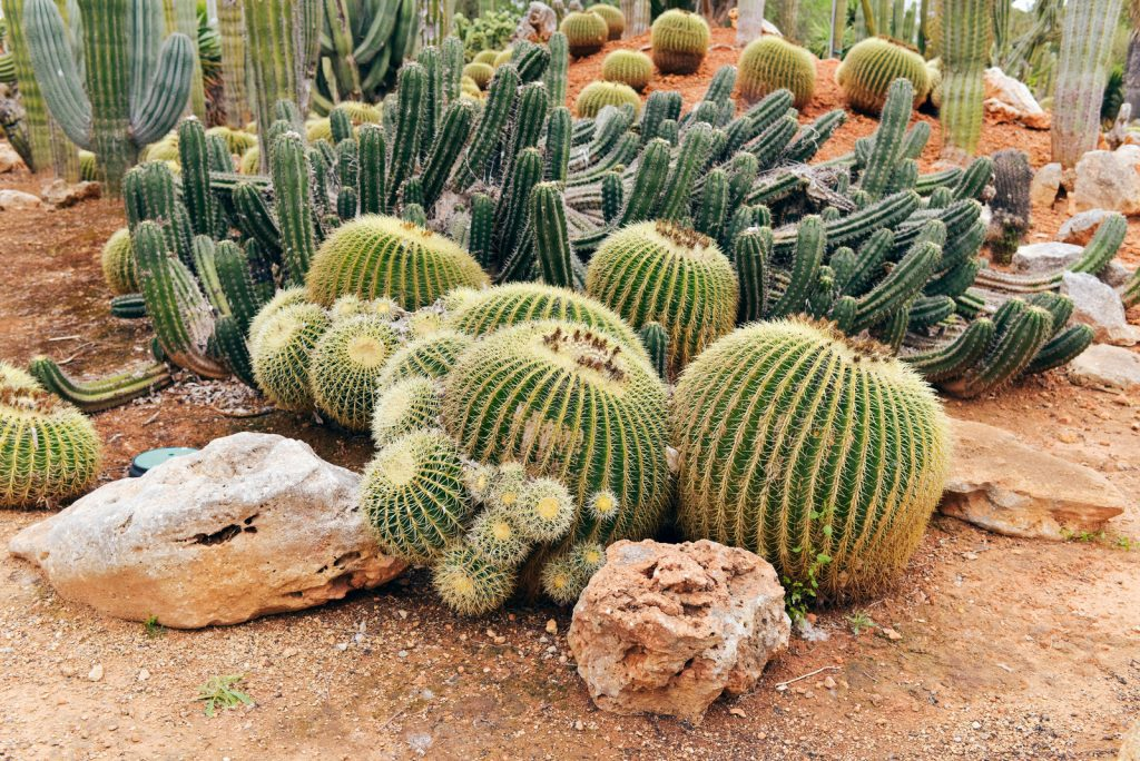 A variety of cacti on red desert soil