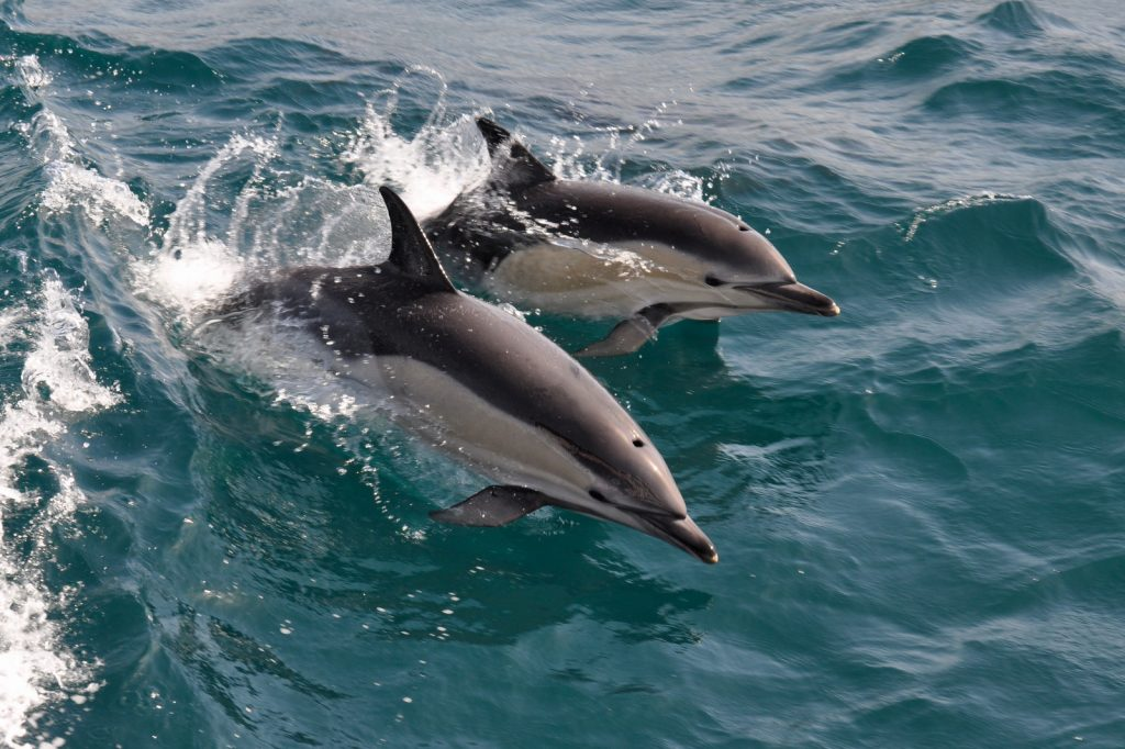 Common dolphins jumping in the waves