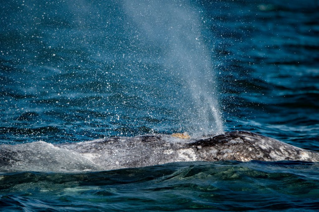 grey whale blowing air and water through nose travelling pacific ocean