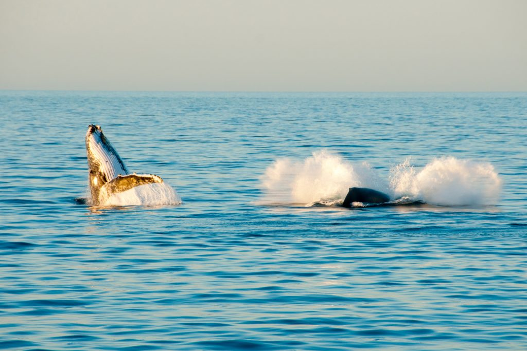 2 Humpback whales breaching the surface