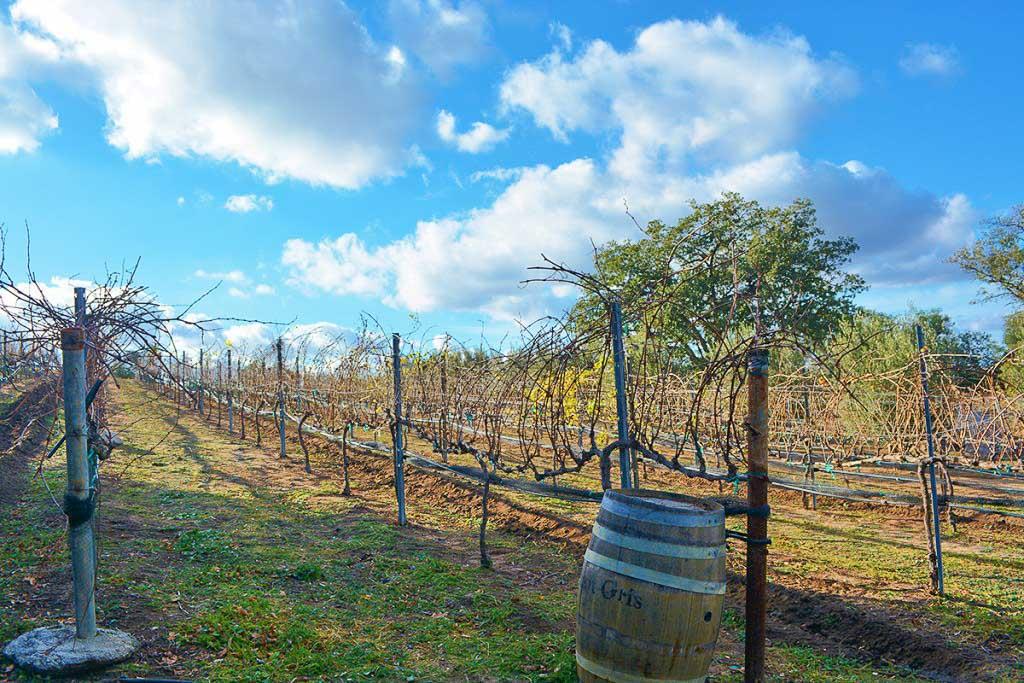 Vineyards at Milagro Farm Vineyards and Winery in Ramona