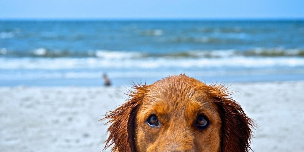 Closeup of wet, orange-furred dog staring right in the camera, half his face visible, with beach in the background
