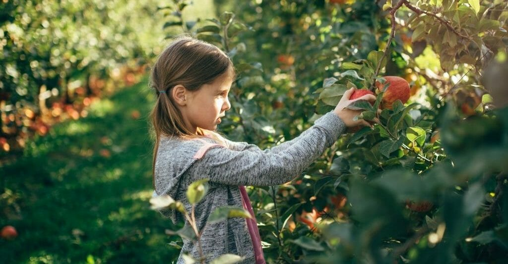 Young girl picking apples in Julian California