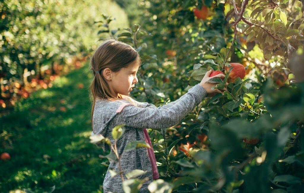 Young girl picking apples in Julian California