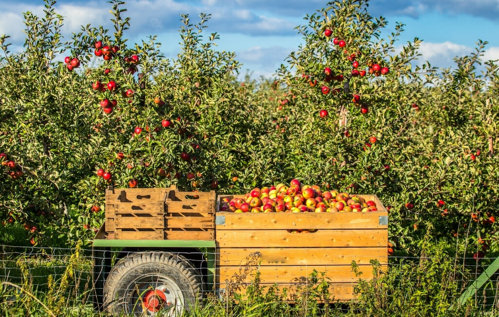 Tractor with boxes filled with apples in front of apple orchard on a sunny day with blue sky