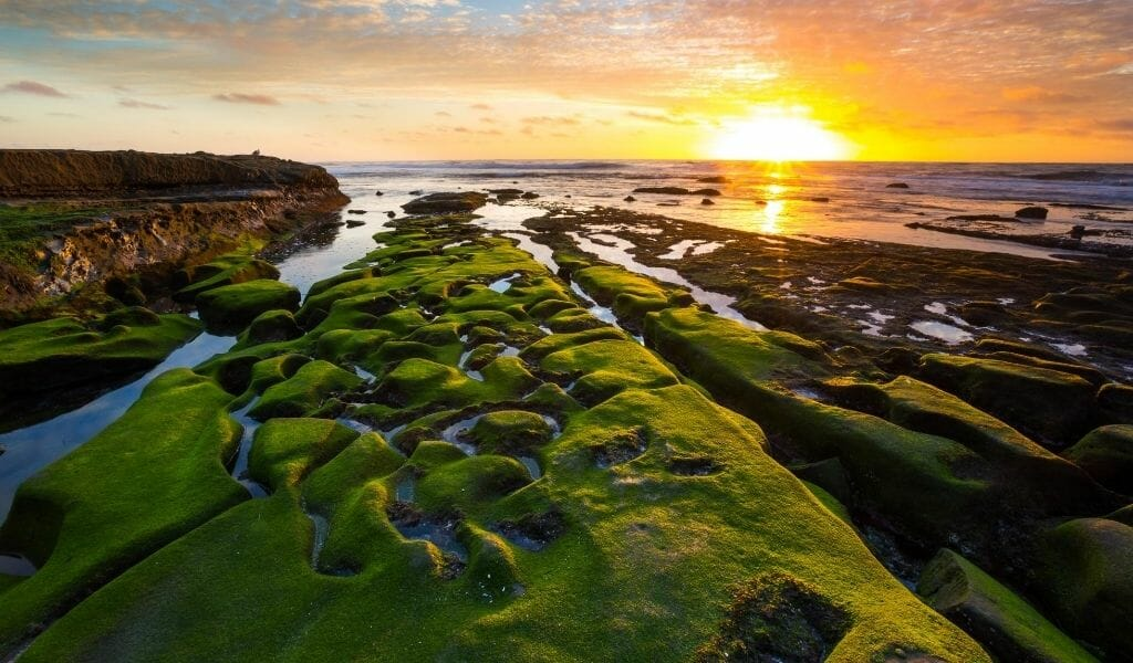 Green moss covered tide pools in the rocky shore line in La Jolla during sunset
