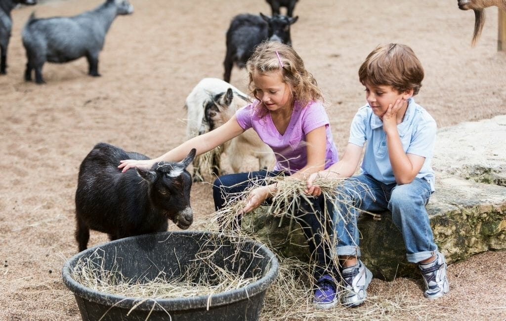 two kids petting a goat in a petting zoo