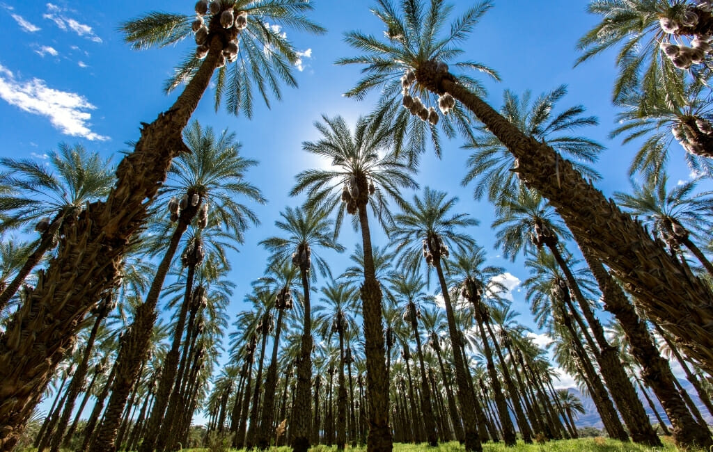 Rows of Palm trees on a date farm in Southern California