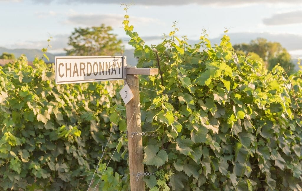 lush Green Grape vines and wooden sign for Chardonnay