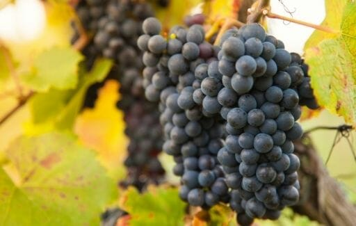 Temecula Red Wine Grapes