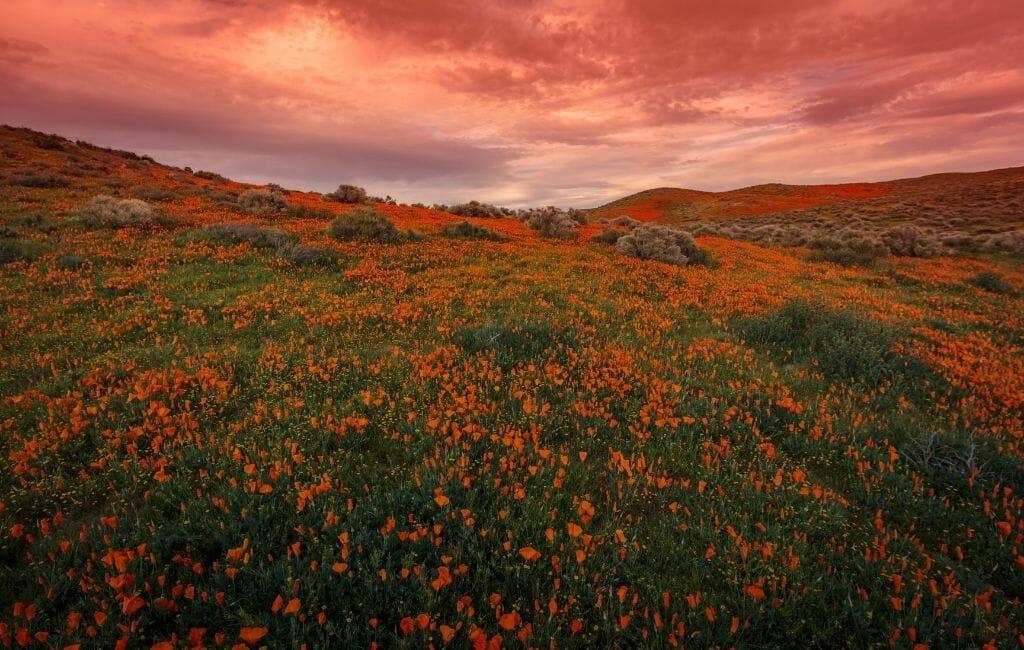 sunset over California Poppy field at Antelope Valley California Wildflowers