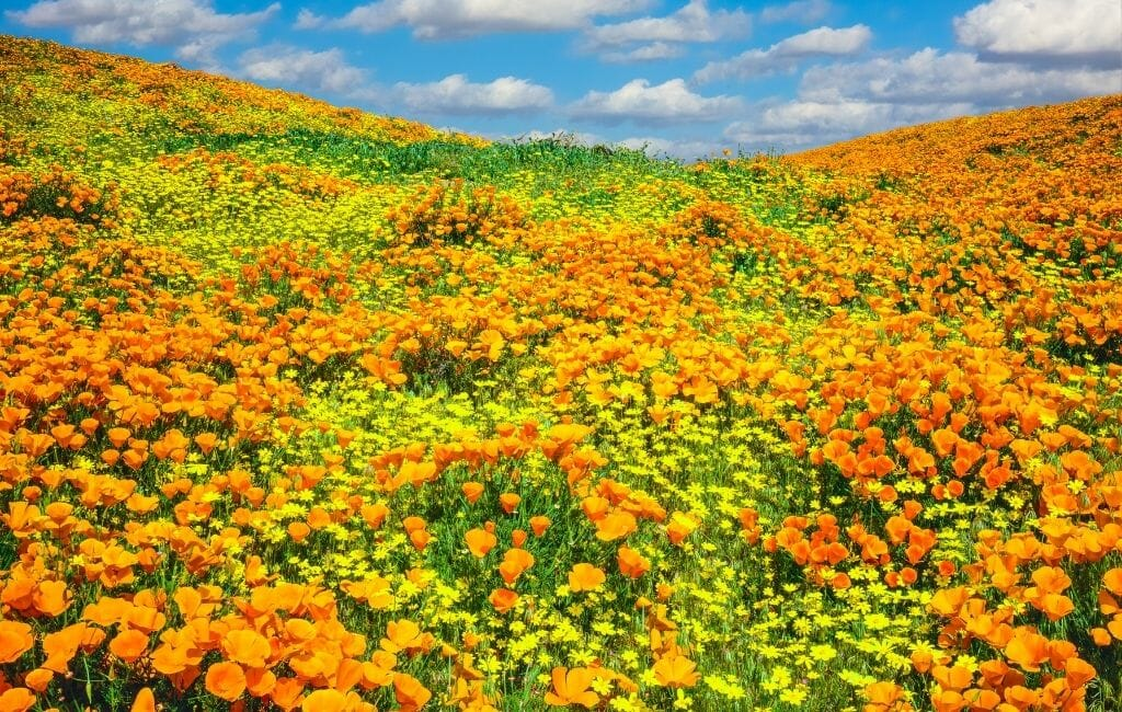 field of bright orange California poppies with patches of yellow desert dandelions at Antelope Valley California Wildflowers