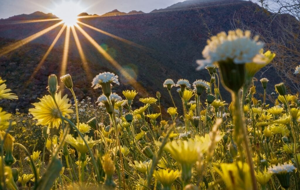 Yellow Desert Dandelions Wildflowers with sun breaking over the mountains at Anza Borrego State Park during Wildflower season