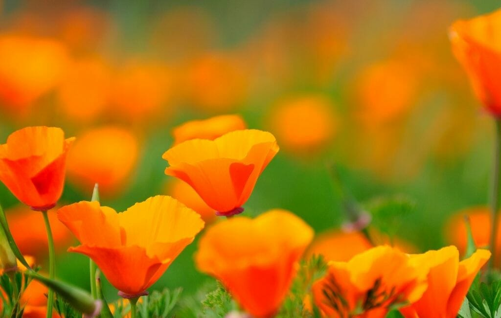 bright orange california Poppies on a green meadow
