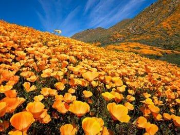 Bright orange carpet of California Poppies at Walker Canyon Lake Elsinore California Superbloom