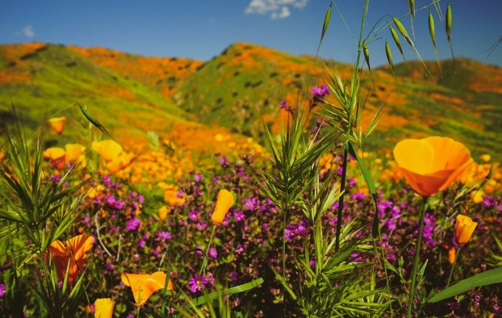 fields of California Poppies and small purple flowers during California Superbloom - Where to see California Wildflowers