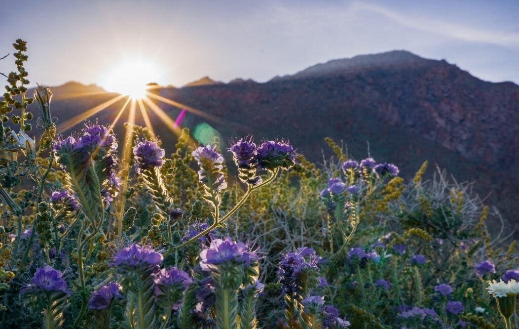 Purple california wildflowers at Anza Borrego State Park with sun breaking over the mountains in the background
