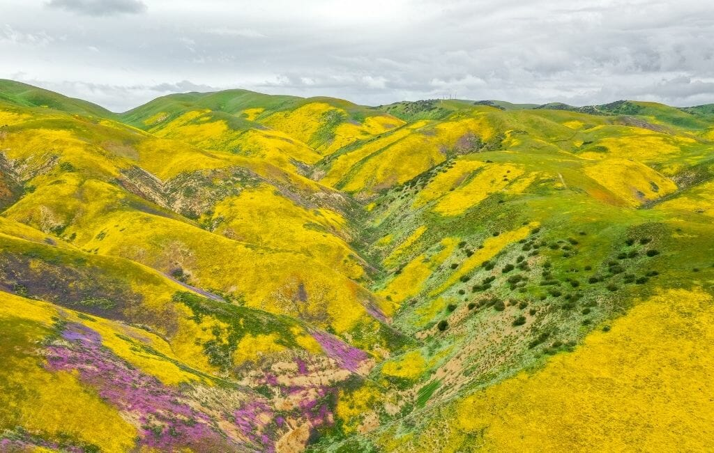 Rolling hills with large patches of yellow bush daisies and purple wildflowers during California Superbloom at Carrizo Plains