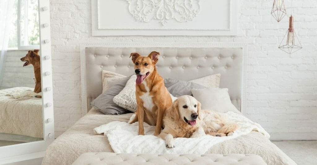 A Golden Retriever and a copper colored mixed dog on a white hotel bed