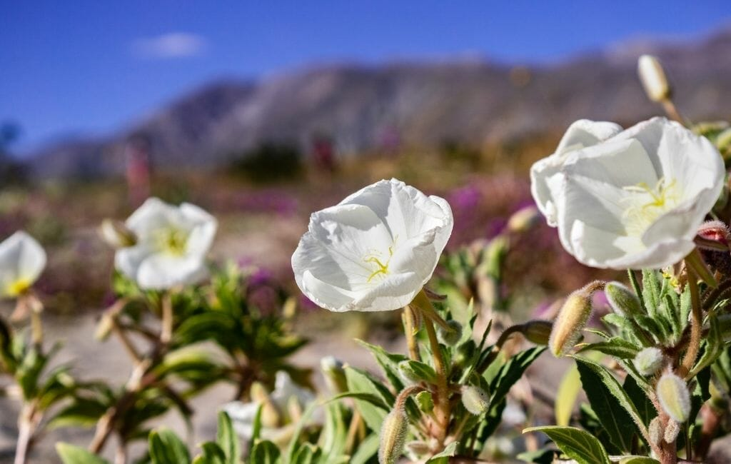 white dune primrose with desert mountains in the background