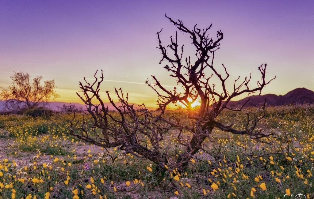 Dead branches in a field of California Wildflowers during sunrise with purple sky at Joshua Tree National Park
