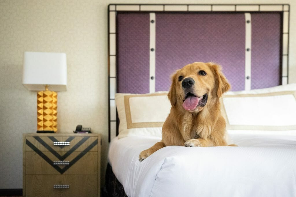 Golden Retriever sitting on a hotel bed at Hotel Solamar