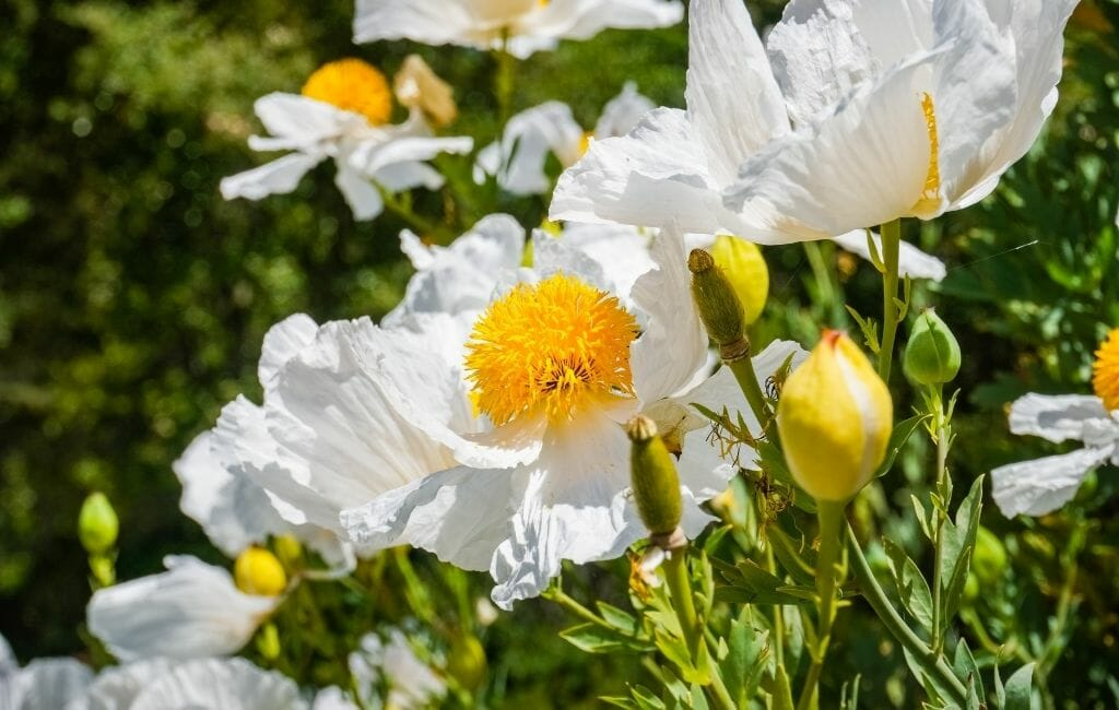 Matilija Poppy- Large white thin paper-like pedals and yellow disk with pollen