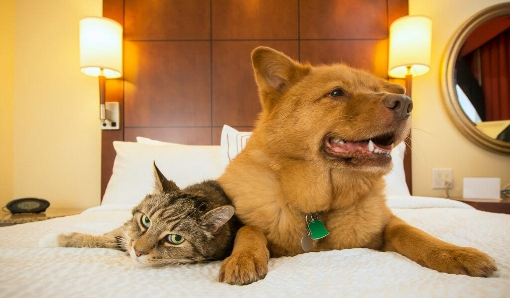 cat and dog hanging out on a hotel bed