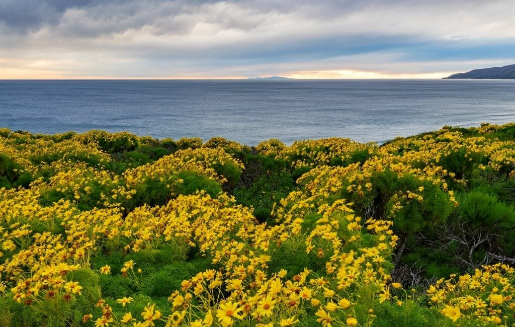 Bright yellow bush daisies on a cliff overlooking the pacific at Point Dume State Beach