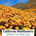 Best places to see the California Superblooms and top tips from a Local to plan your California wildflower trip around Southern California. Where to See Superbloom in California - Southern California Superbloom - Anza Borrego wildflowers - Anza Borrego superbloom - Lake Elsinore Wildflowers - Walker Canyon Wildlowers - California Poppies - California Wildflower Season - Joshua Tree National Park Wildflowers - Antelope Valley Wildflowers - Point Dume State Beach Wildflowers - Laguna Coast