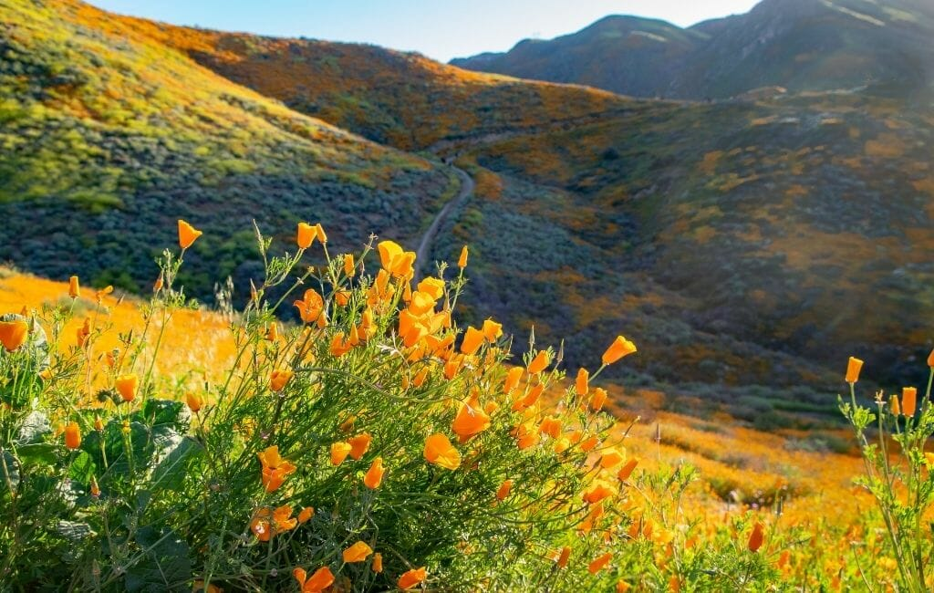 Foreground a bushel of orange California Poppies and in the background rolling hills covered with bright orange, yellow, and purple California Wildflowers at Walker Canyon at Lake Elsinore