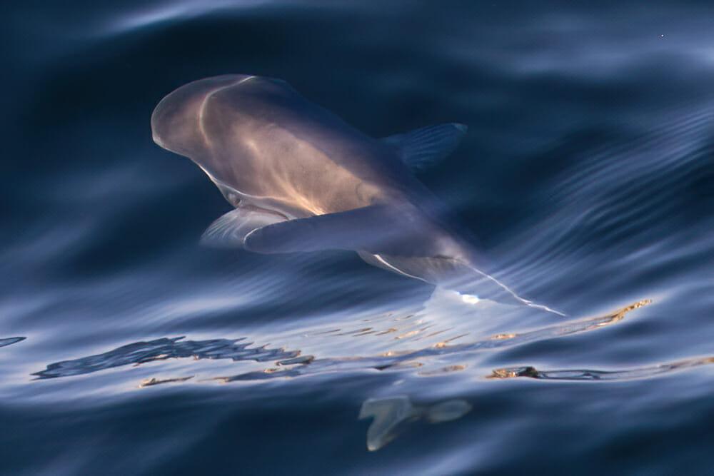 Fin Whale under water near Dana Point