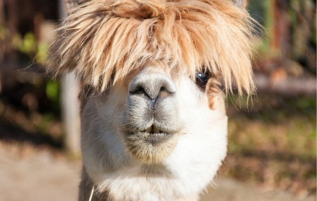 Portrait of head of a Cream colored alpaca with crazy hair
