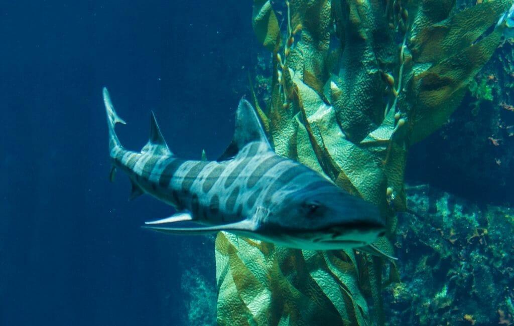 Leopard Shark swimming in front of kelp plant at La Jolla-San Diego Adventures
