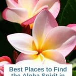 Pink plumeria flowers with black background white box with text in blue and teal: Best Places to find the Aloha Spirit in San Diego